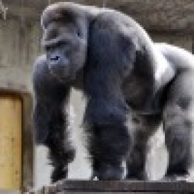 Gorilla200521's picture